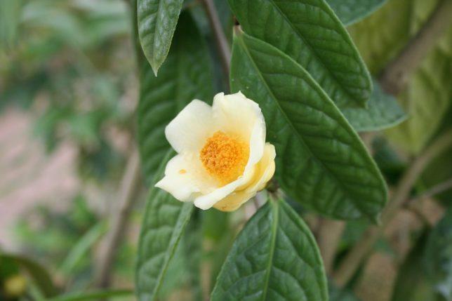 金花茶.いのくち椿館20090206