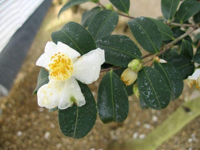 オレイフェラ(油茶)いのくち椿館20090206