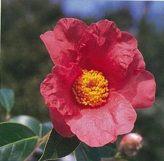 チェキアンオレオーサ(浙江紅花油茶)いのくち椿館20090206