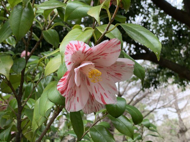 春の台 光が丘夏の雲公園椿園20200330