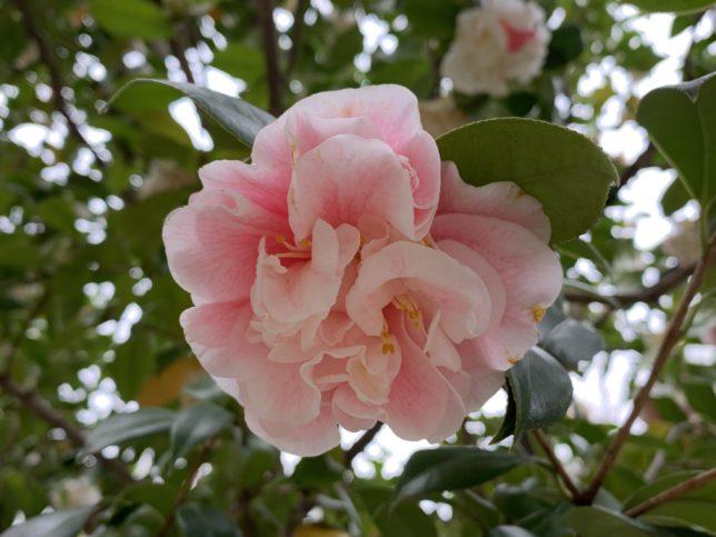 長尾五色牡丹咲  光が丘夏の雲公園椿園20200330