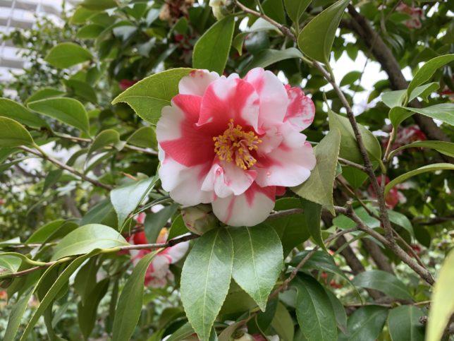 春日野 光が丘夏の雲公園椿園20200330