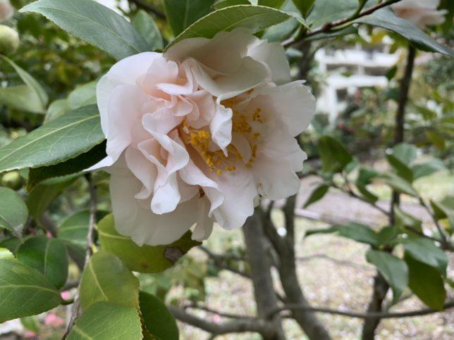 暁山gyozan 光が丘夏の雲公園椿園20200330