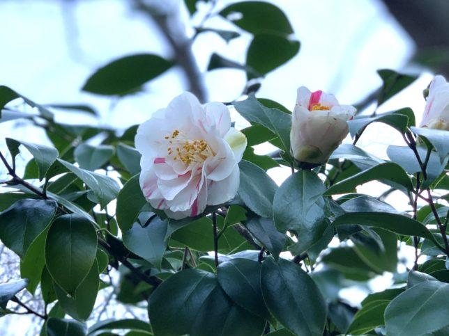 潅花絞(かんかしぼり)椿山荘20200223