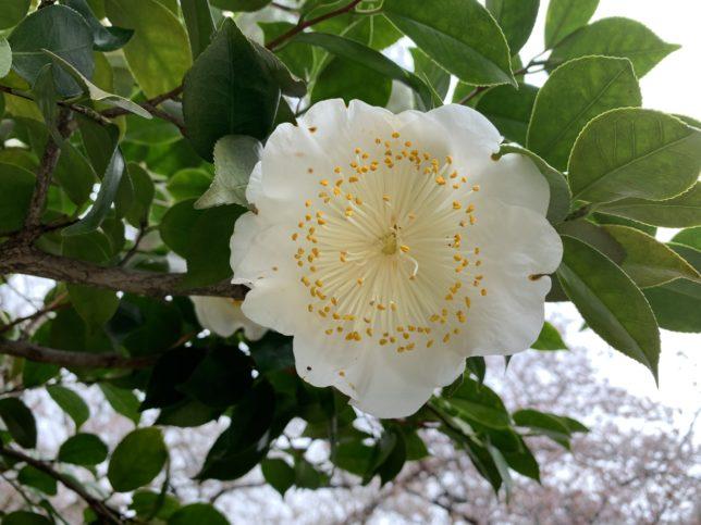肥後白雪 光が丘夏の雲公園椿園20200330