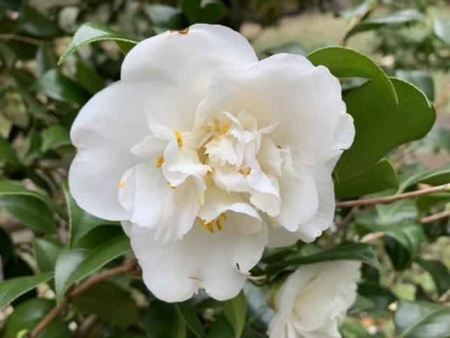 玉牡丹gyokubotan 光が丘夏の雲公園椿園20200330