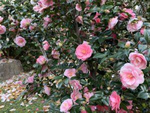 地蔵院中庭 五色八重散椿20200324