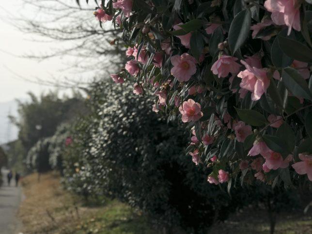 出雲村田製作所椿園20180311