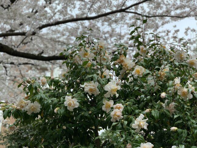 春うらら 光が丘夏の雲公園ツバキ園20210325
