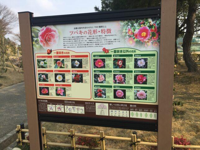 野々市中央公園椿山椿解説版20170319