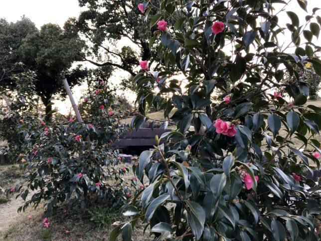 紅侘助 ののいち椿館、椿山2019030
