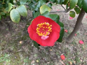 肥後紅葉狩 光が丘夏の雲公園ツバキ園20210325