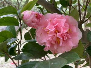 桃色神楽 光が丘夏の雲公園ツバキ園20210325
