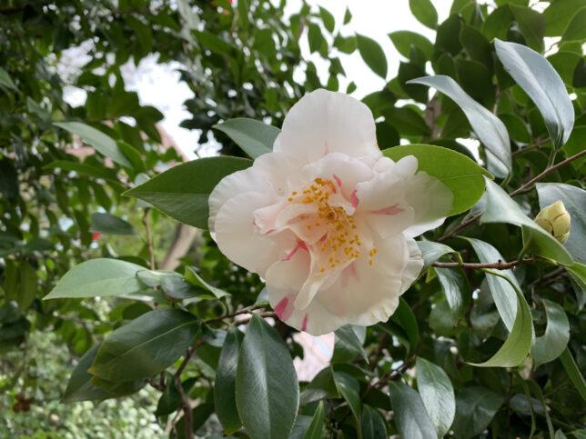 灌花絞 椿山荘20210227